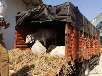 Cows Rescued